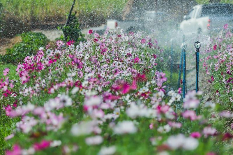 SprinklerSpringer is watering a variety of beautiful growing flowers in the garden.  royalty free stock images