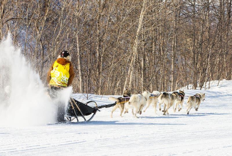 Sprint traditionnel d'Elizovsky de course de traîneau de chien du Kamtchatka image libre de droits