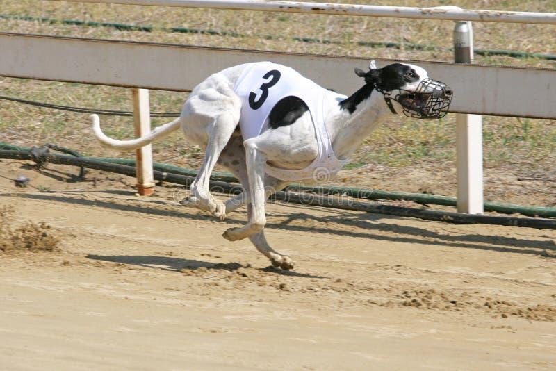 Sprinta den dynamiska vinthunden på loppkursen royaltyfri foto