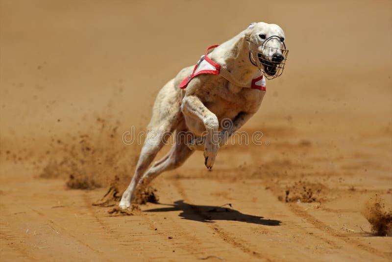 sprinta för vinthund royaltyfria foton