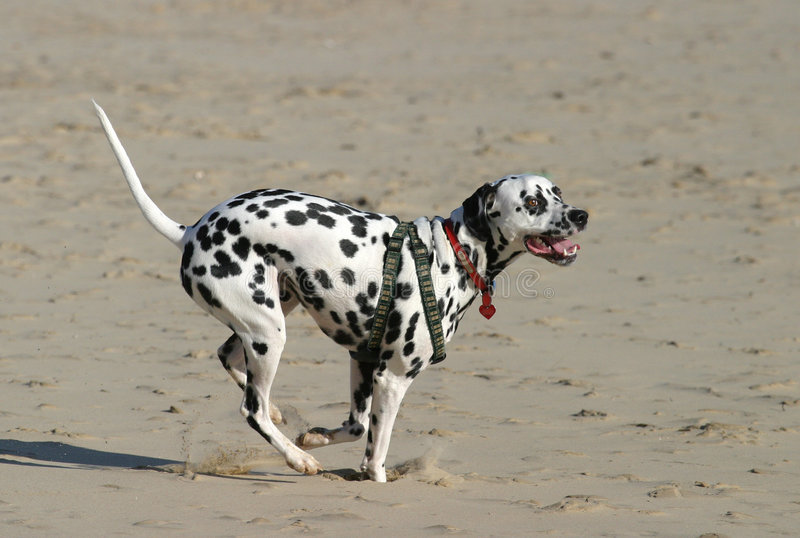 Sprinting Dalmatian Immagini Stock