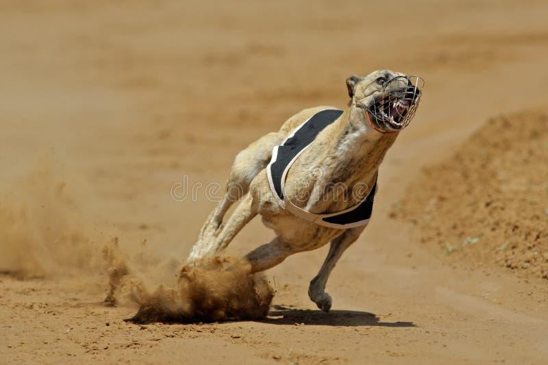 Sprinting greyhound royalty free stock image