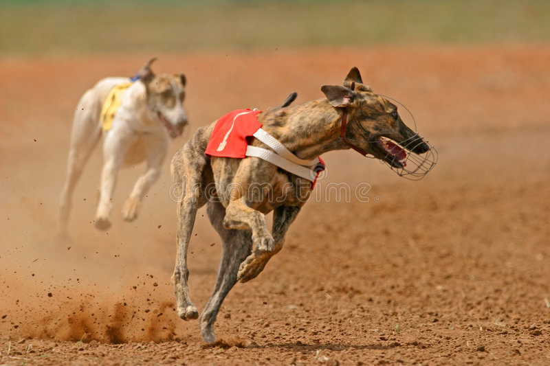 Sprinting greyhound stock photography