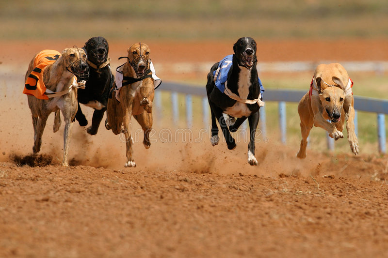 Sprinting greyhounds. Greyhounds at full speed during a race