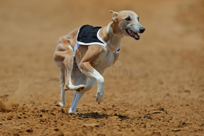 Sprinting whippet dog royalty free stock image