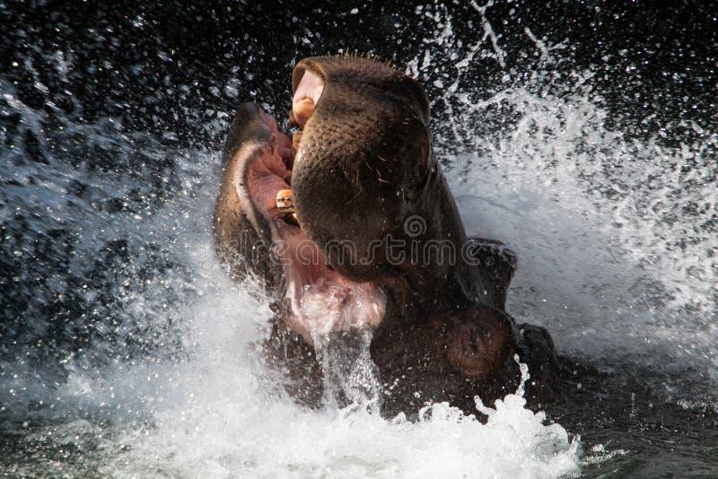 Spritzen des Flusspferds stockfotos