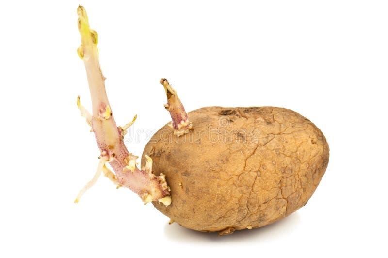 Sprouded potatoe stock foto