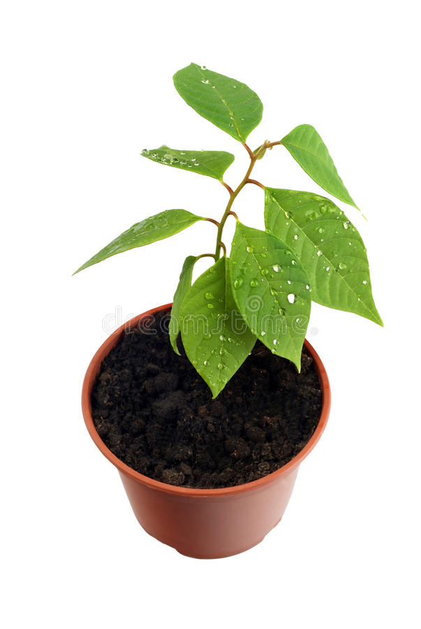 Download Sprout stock photo. Image of development, houseplant - 10627432