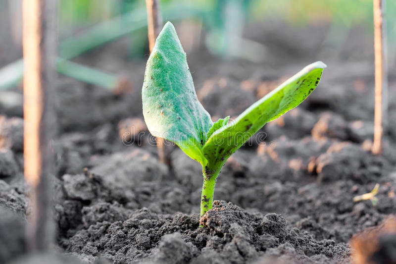 Download Sprout stock image. Image of hope, leaf, country, farm - 25106763