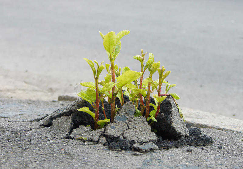Sprout through asphalt royalty free stock photo