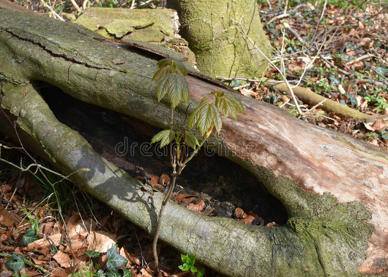 Sprout of beech in spring. It grows next to the dead tree. royalty free stock photography
