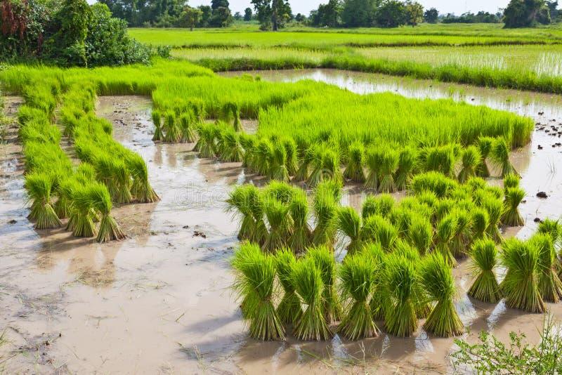 Sprout, campo tailandês do arroz imagem de stock
