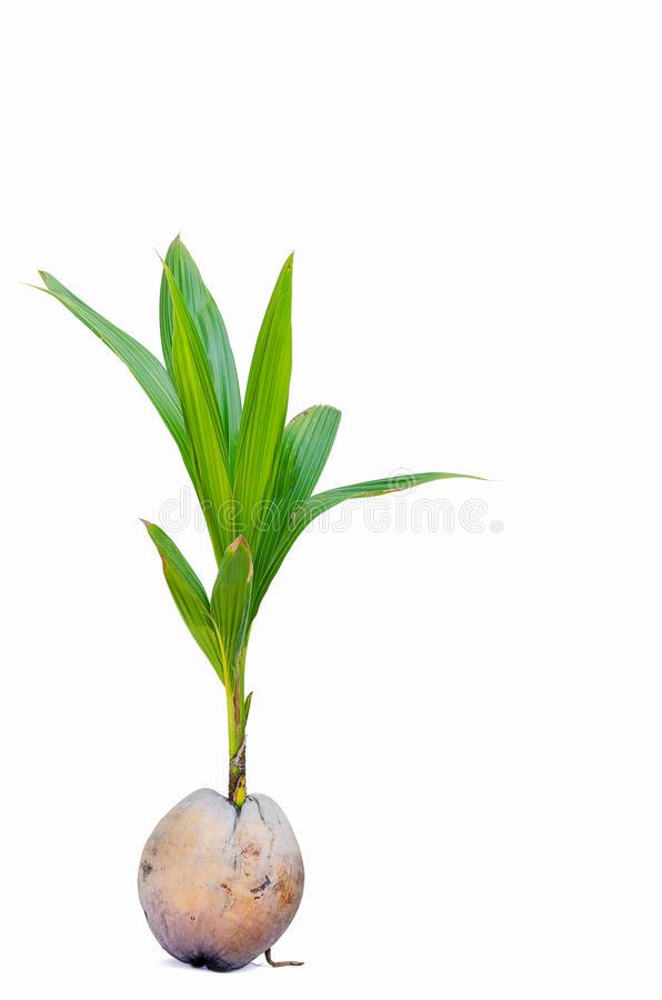 Sprout of coconut tree. On white background stock photos