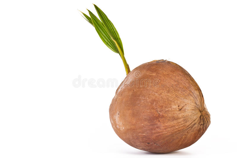 Sprout da árvore de coco foto de stock