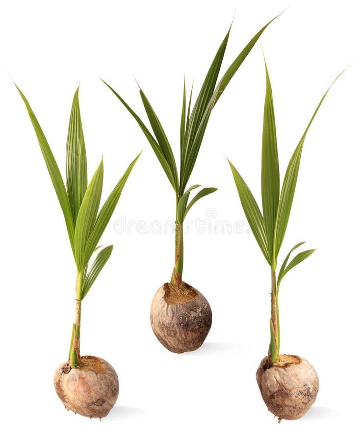 Sprout da árvore de coco. imagens de stock