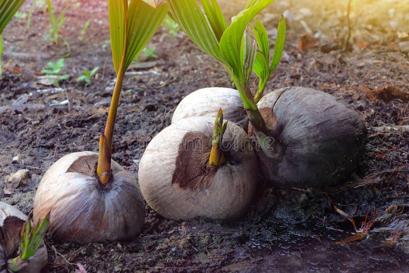 Sprout da árvore de coco imagens de stock