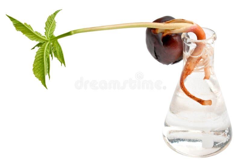 Sprout da castanha em uma garrafa com água foto de stock