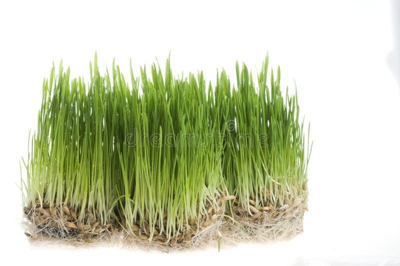Sprout da grama verde do trigo sobre o branco fotos de stock royalty free