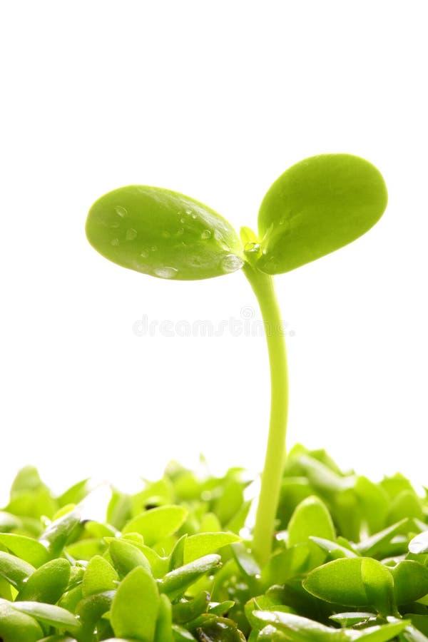 Sprout da mola fotos de stock