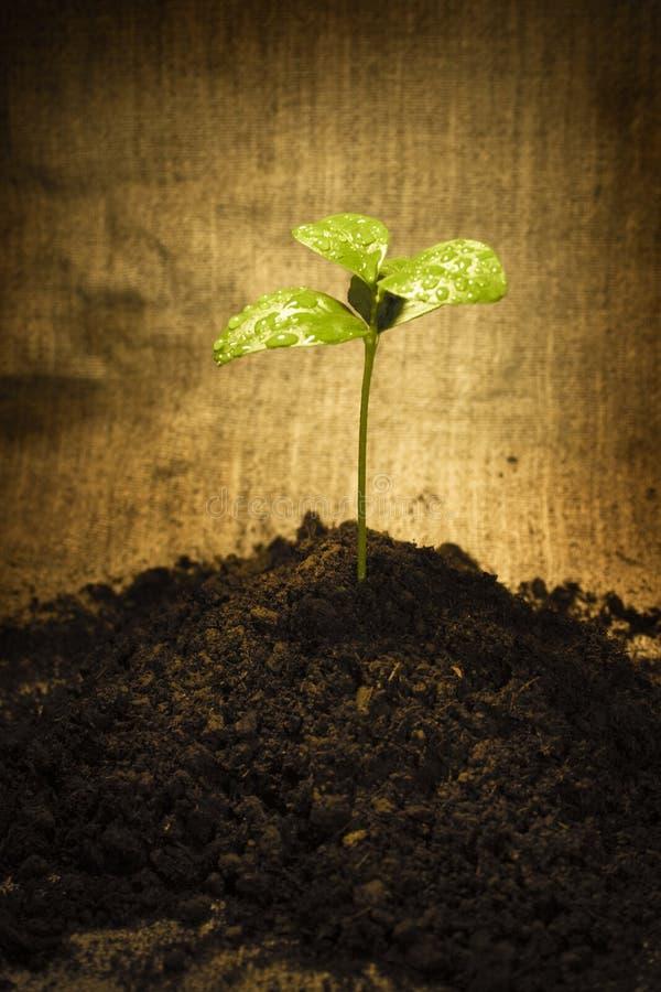 Sprout da mola foto de stock