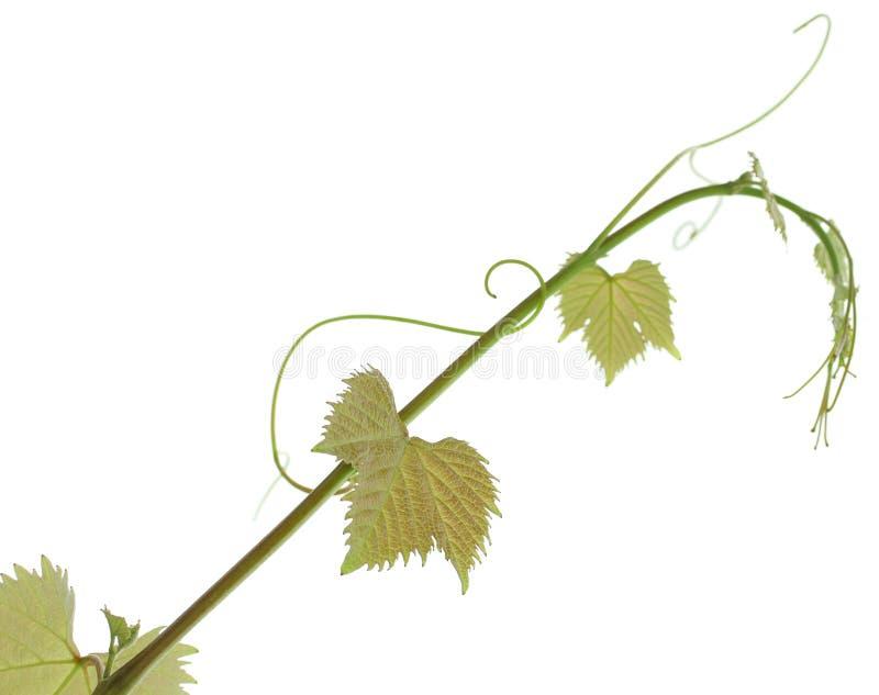 Sprout da videira foto de stock