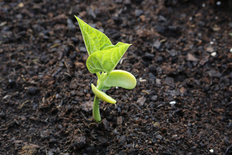 Sprout de feijão imagens de stock