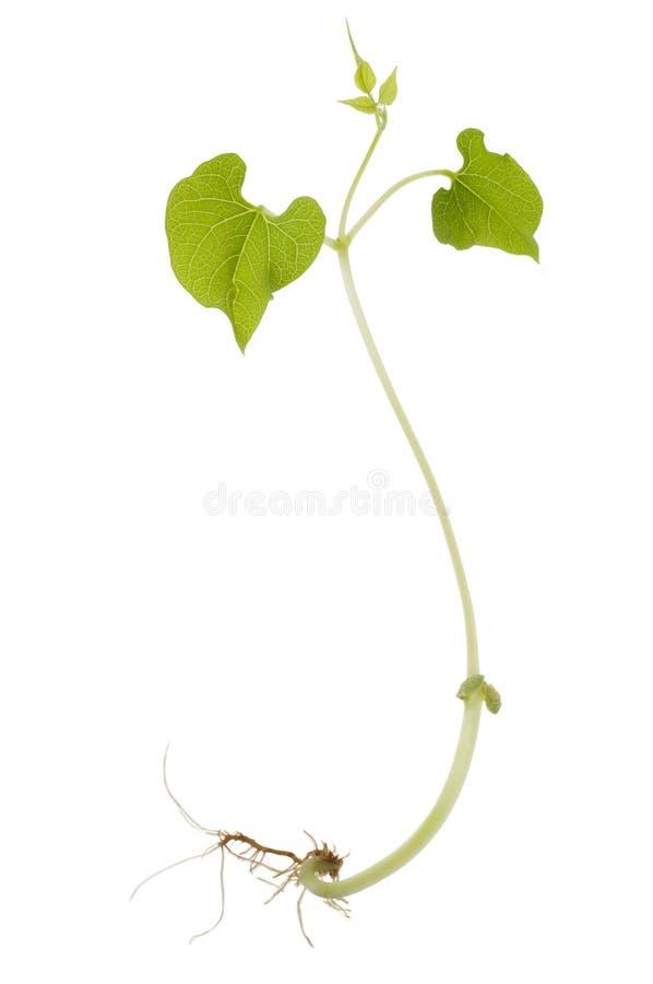 Sprout de feijão imagens de stock royalty free