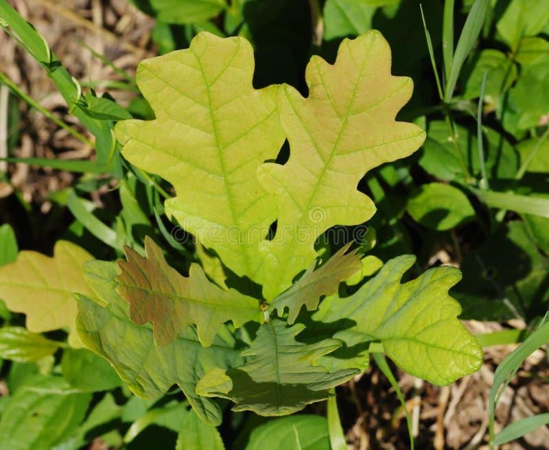 Sprout do carvalho. fotos de stock royalty free