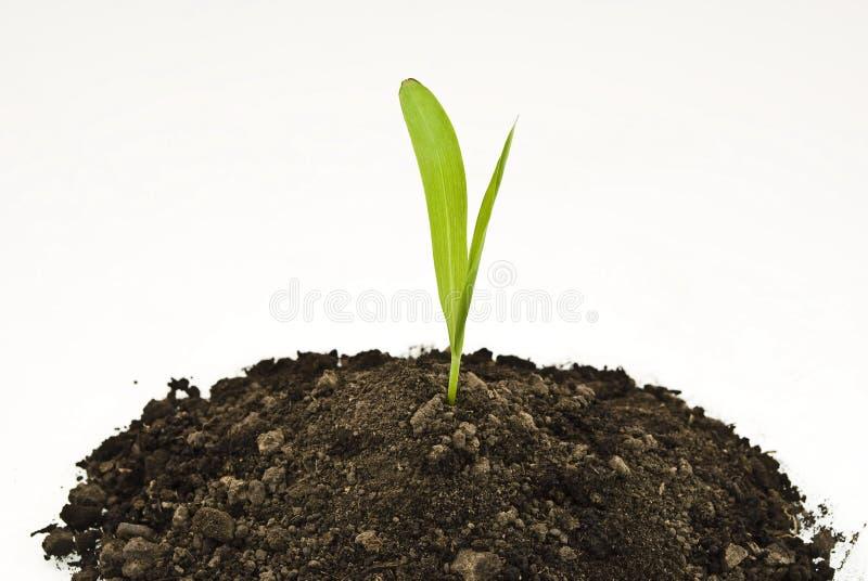 Sprout do milho no solo fotografia de stock royalty free