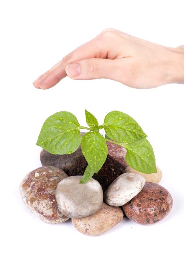 Sprout e mão verdes pequenos da fêmea imagem de stock royalty free