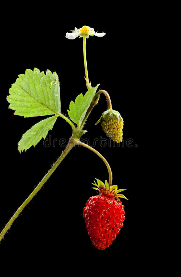Download Sprout With Flower, Green And Ripe Wild Strawberry Stock Photo - Image: 19479876