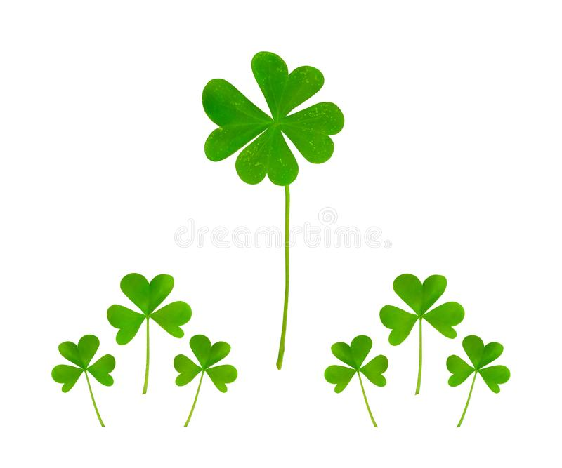 A sprout of green four-leaf clover surrounded by trefoil small plants on a white background. Creative composition, collage on the theme of luck, random luck stock images