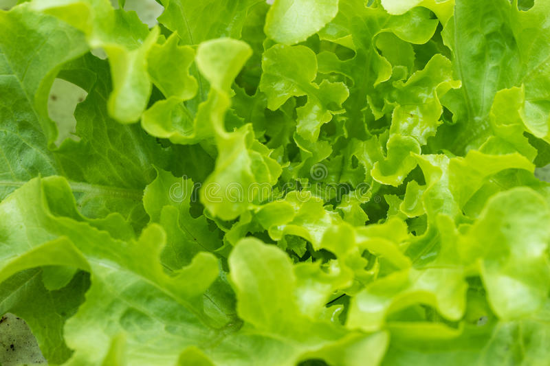 Sprout green oak Lettuce hydroponic royalty free stock photos