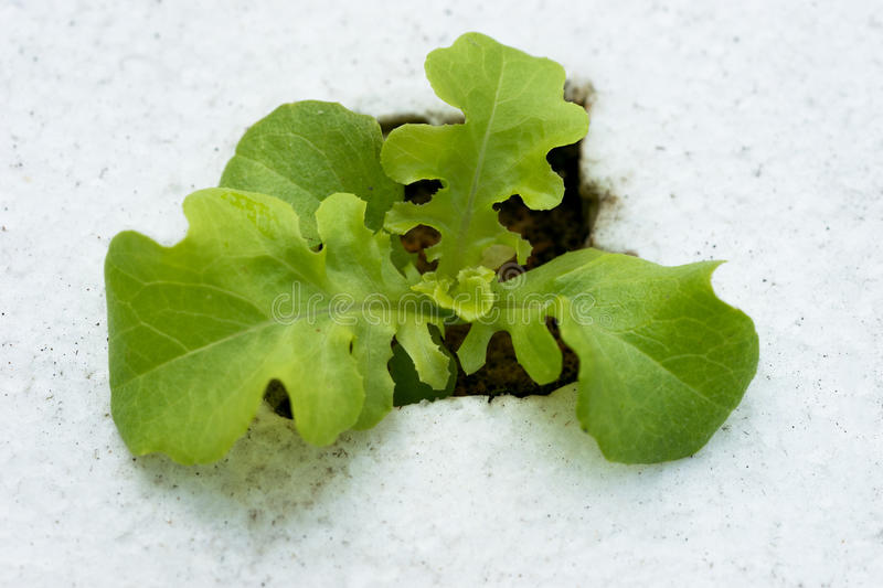 Sprout green oak Lettuce hydroponic royalty free stock photography