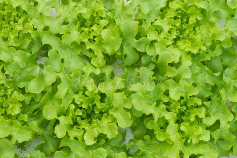 Sprout green oak Lettuce hydroponic stock image