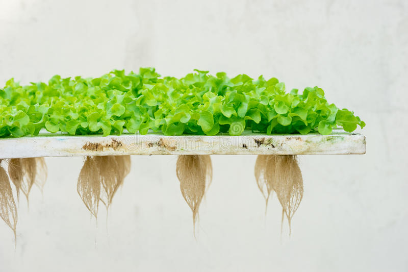 Sprout green oak Lettuce hydroponic stock images