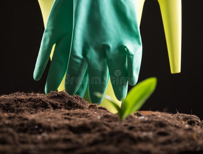 Sprout in ground. Green young sprout growing in fertile soil with watering can and rubber gloves on background stock image