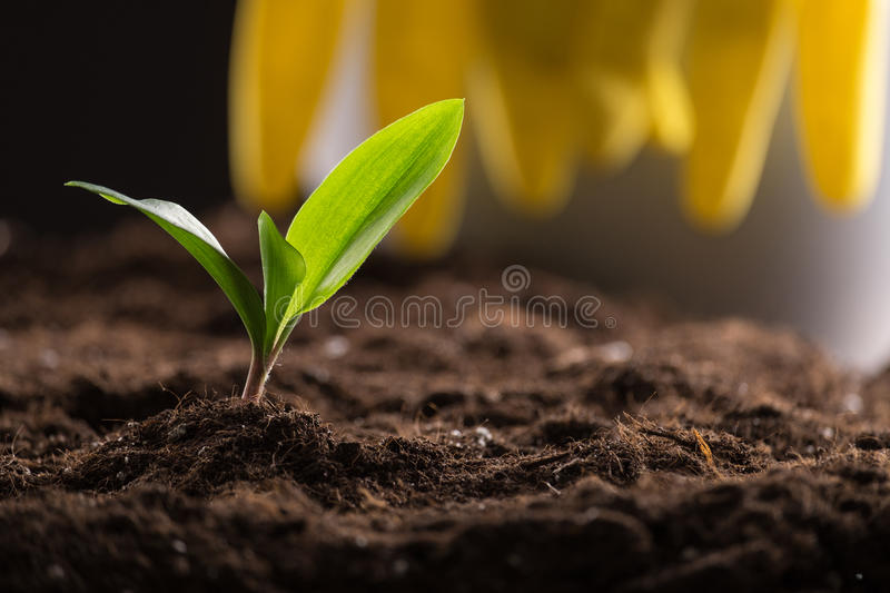 Sprout in ground. Green young sprout growing in fertile soil with watering can and rubber gloves on background stock photos