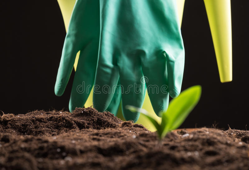 Sprout in ground. Green young sprout growing in fertile soil with watering can and rubber gloves on background stock photography
