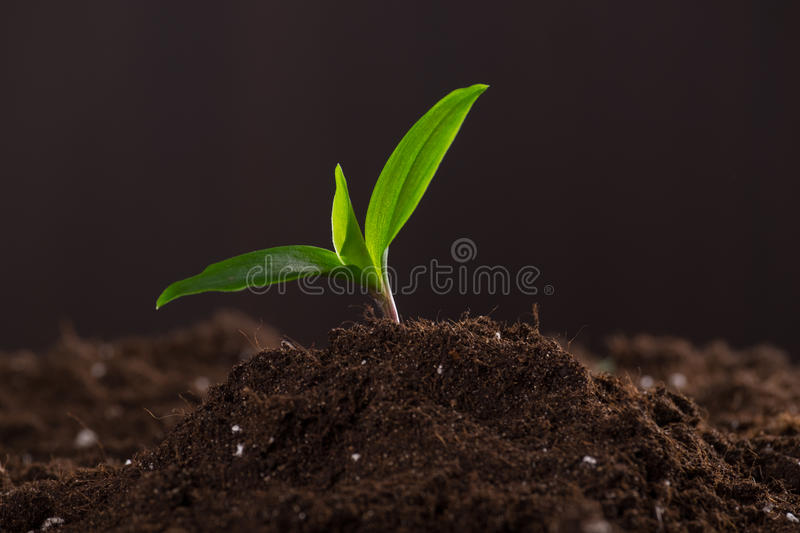 Sprout in ground. Green young sprout growing in good brown soil. New life concept royalty free stock photo