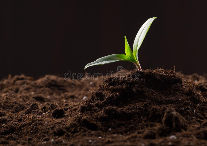 Sprout in ground. Green young sprout growing in good brown soil. New life concept stock images