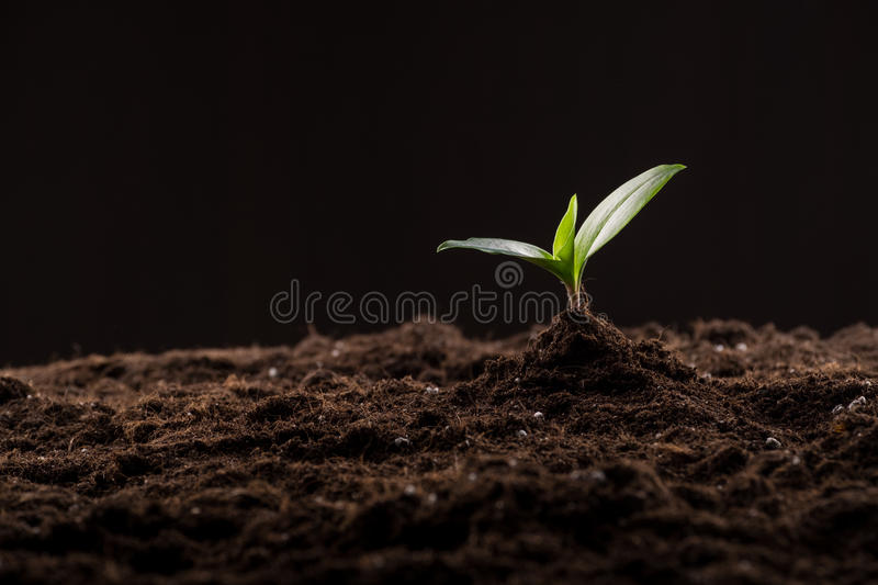 Sprout in ground. Green young sprout growing in good brown soil. New life concept stock photography