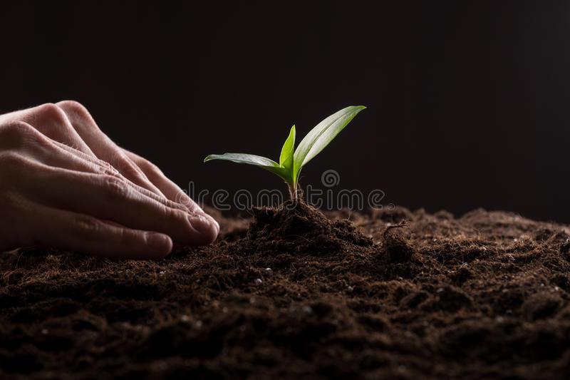 Sprout in ground. Man care about green young sprout growing in good brown soil. New life concept stock photography