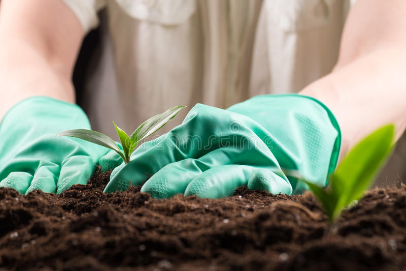 Sprout in ground. Man in green rubber gloves care about green young sprout growing in good brown soil. New life concept royalty free stock image