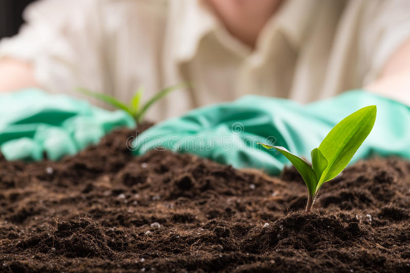 Sprout in ground. Man in green rubber gloves care about green young sprout growing in good brown soil. New life concept stock photography