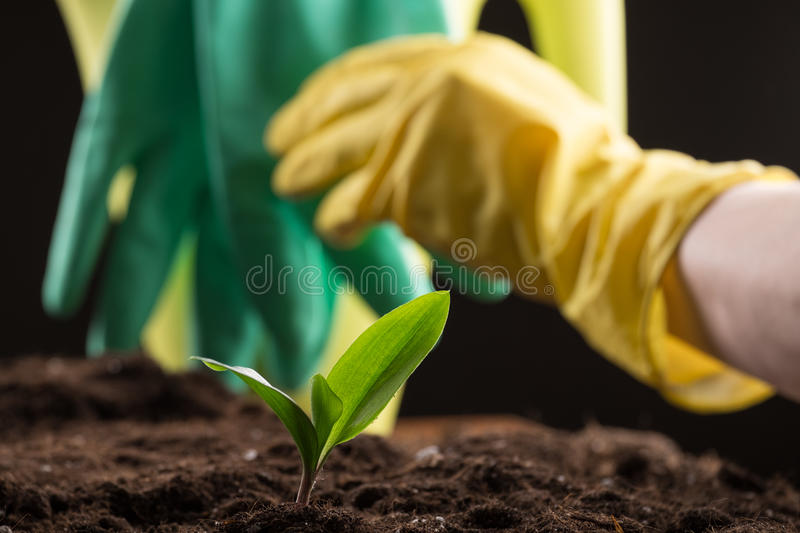 Sprout in ground. Man taking care about green young sprout growing in good brown soil with rubber gloves and watering can on background stock photos