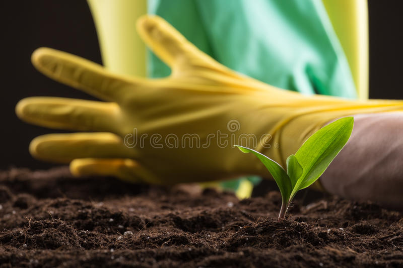 Sprout in ground. Man taking care about green young sprout growing in good brown soil with rubber gloves and watering can on background royalty free stock images