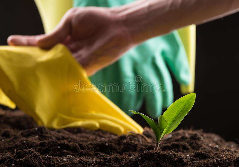 Sprout in ground. Man taking care about green young sprout growing in good brown soil with rubber gloves and watering can on background stock photo
