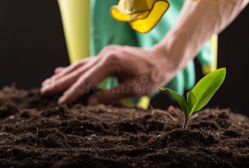 Sprout in ground. Man taking care about green young sprout growing in good brown soil with rubber gloves and watering can on background stock image