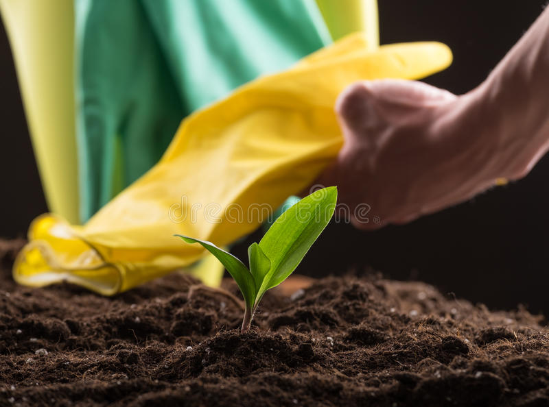 Sprout in ground. Man taking care about green young sprout growing in good brown soil with rubber gloves and watering can on background stock images